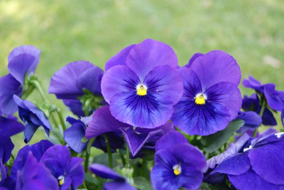 Deep blue pansies for flower pounding technique